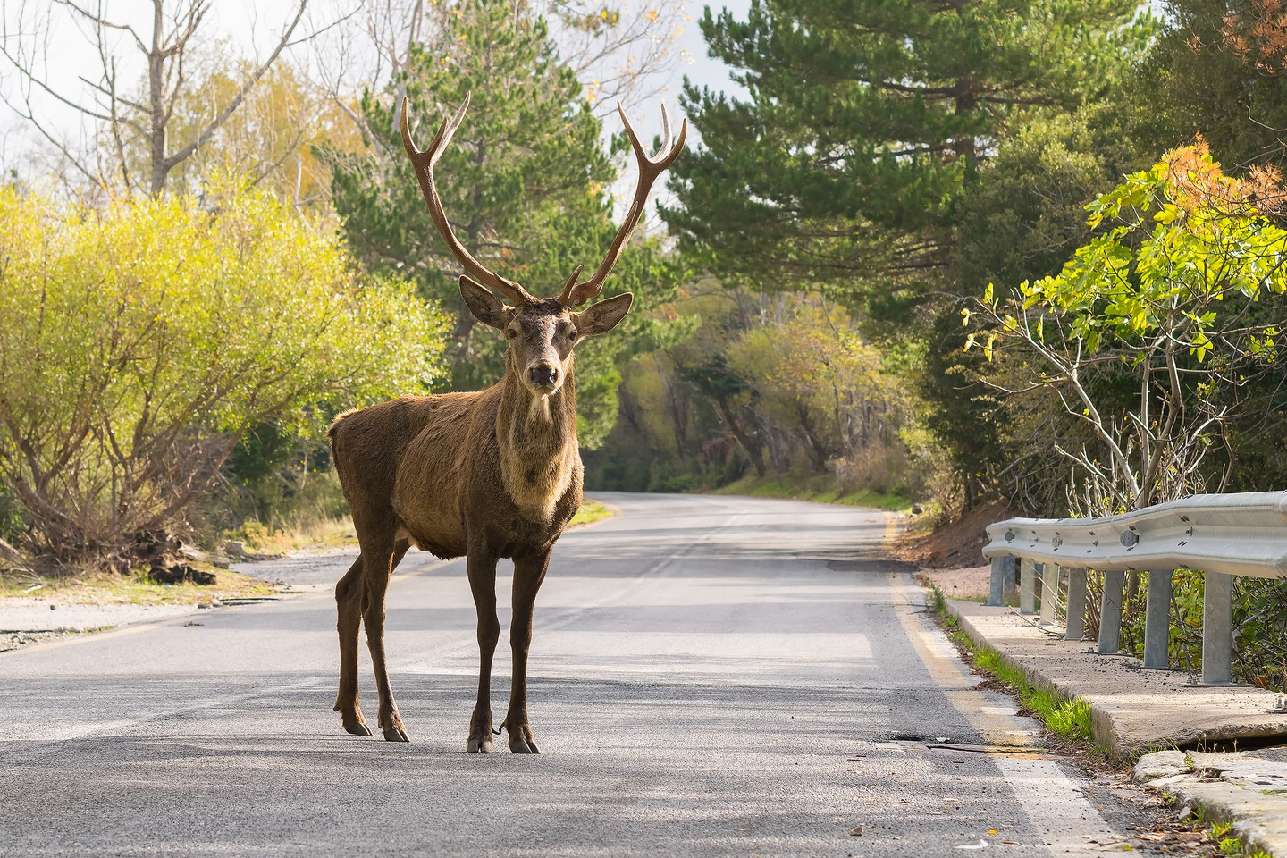 Male deer at the road of Parnitha mountain