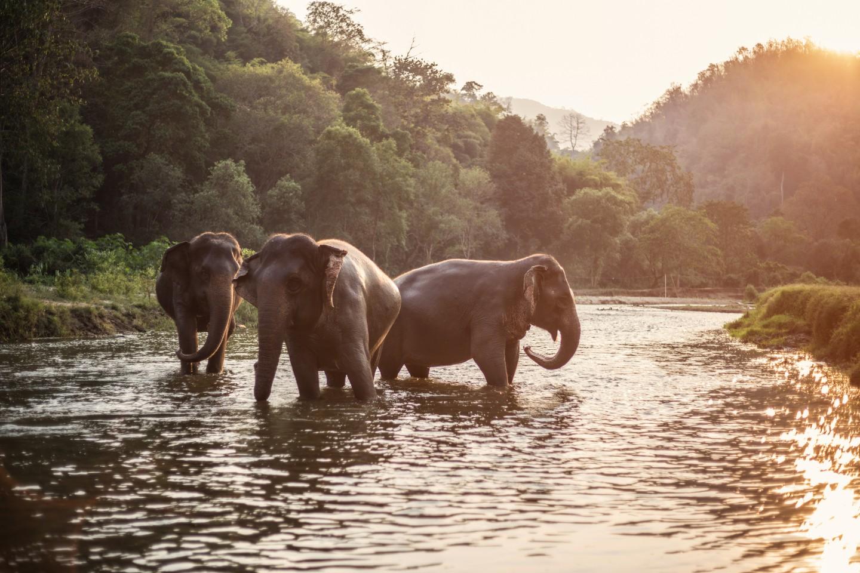 Elefante asiático en Tailandia