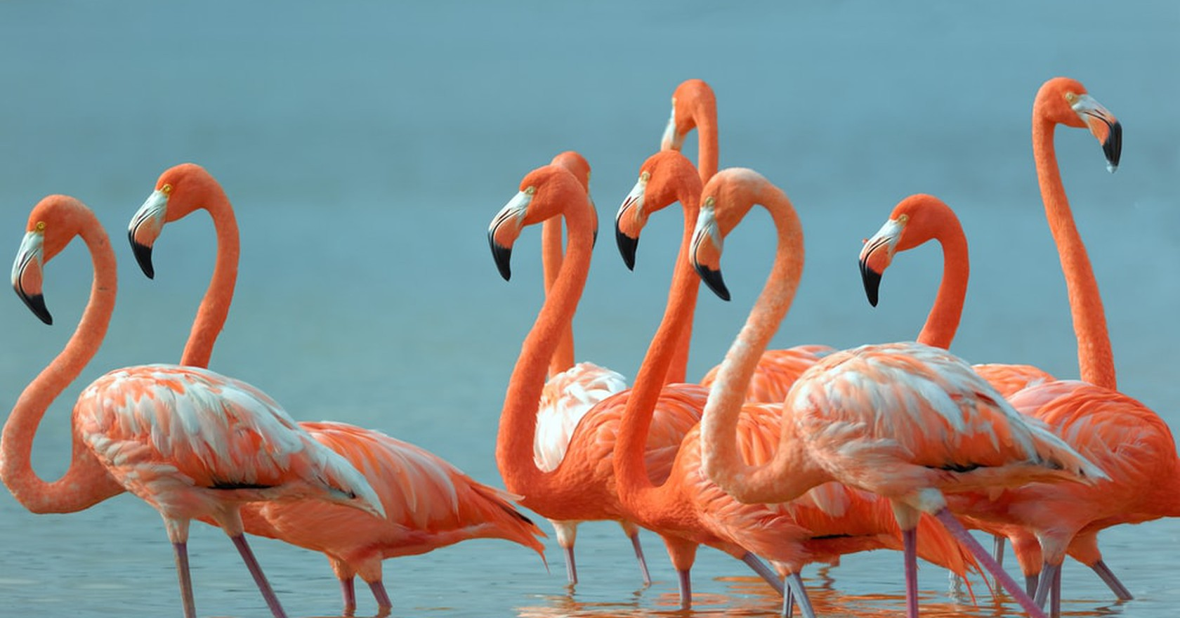 Mexico Greater Flamingoes Zixian Shutterstock