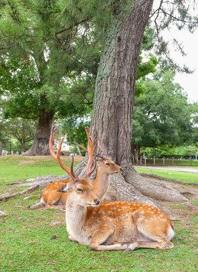The sacred deer of Nara, Nara-Shi in Japan.