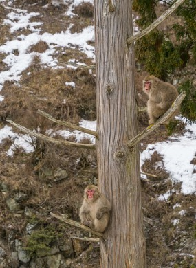Two Snow Monkey sit down on the branches of hinoki cypress among the snowy mountain in Jigokudani