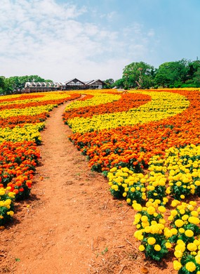 Flower field in Nokonoshima island park, Fukuoka, Japan