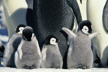 march of the penguins   ©Geoffrey Chandler