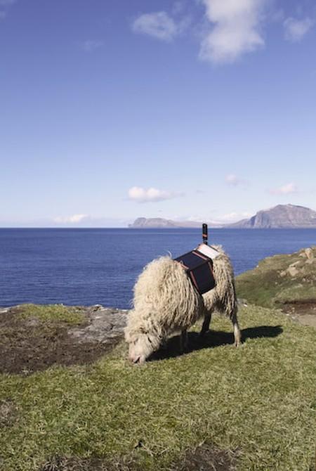 Sheep were equipped with cameras |Courtesy of visitfaroeislands.com