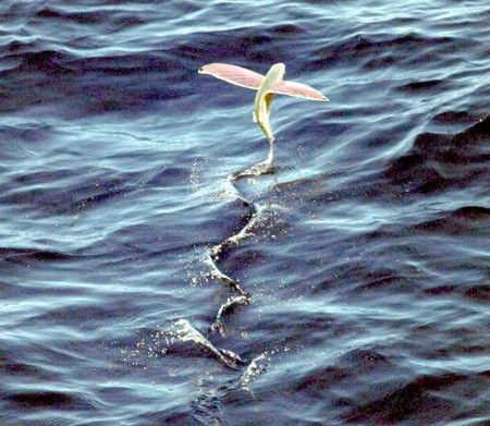 Flying fish © solutionspainting/Wikipedia