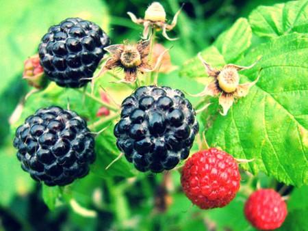 Mulberry and Vine | Rhonda Murr/Flickr