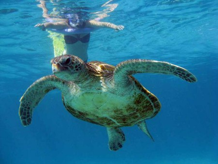 Turtle while snorkling in Exmouth, Australia