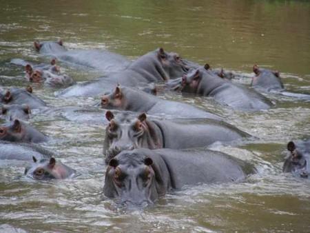 Hippos – Queen Elizabeth NP   © Mauro Gambini/Flickr