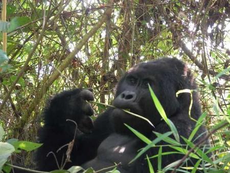 Bwindi (Uganda) female gorilla eating   © Joxeankoret/Flickr