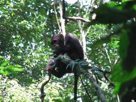 Chimpanzee   © Sarahemcc/Flickr