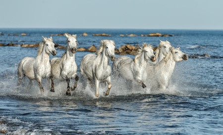 Two young white of Camargue horses roam free ©ArCaLu / Shutterstock