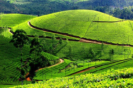 Lush green tea gardens of Darjeeling. Photo courtesy:http://goo.gl/oaDwCF