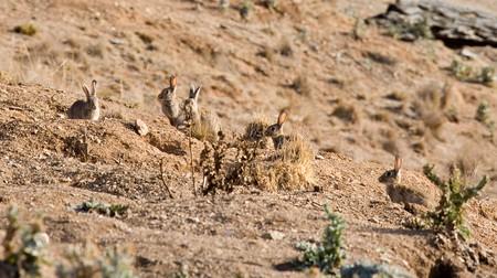 European rabbits in Australia | © John Schilling / Flickr