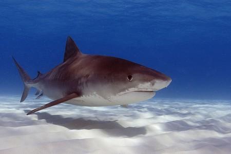 Tiger shark | © Oregon State University/Flickr