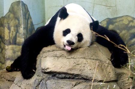 National Zoo Panda   © Becker1999/Flickr