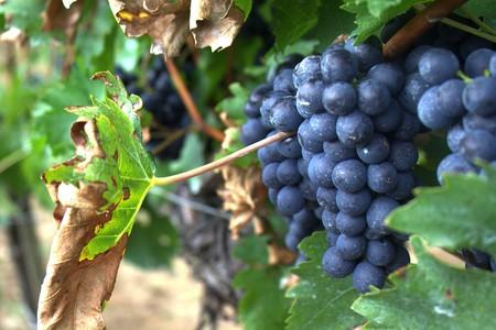 Grapes   © tribp/Flickr