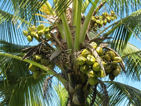 Green coconuts |© Amy Truter/Flickr