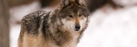 Gray wolf | © Eric Kilby/Flickr