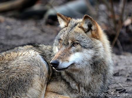 Grey Wolf   © Arne von Brill/Flickr