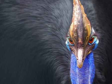 Cassowary | © Paul IJsendoorn/WikiCommons