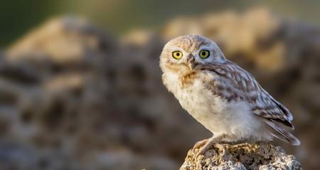 Little owl | © Ashraf Kotb/Flickr
