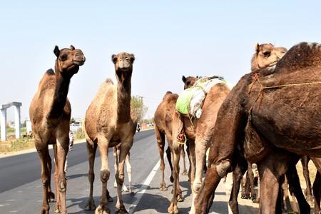 Camels | © Neptunecloud/Flickr