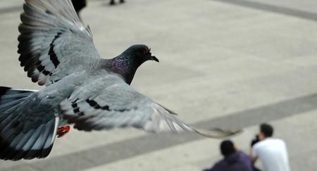 A Parisian pigeon caught in mid-flight │© Pablo Ibañez / Flickr