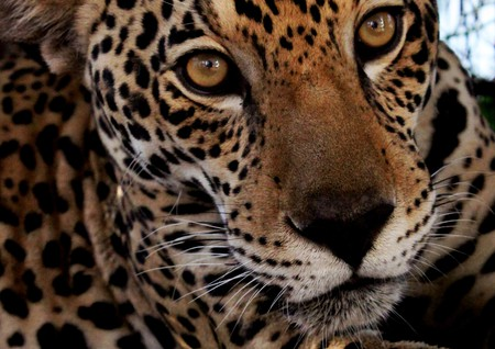 Jaguar |© Rustom Seegopaul/Flickr