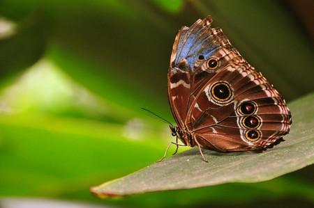 Morpho peleides, Costa Rica Rain Forest  | © Armando Maynez/Flickr