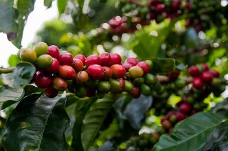 Coffee cherries  ©Wendy/Flickr