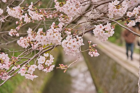 Cherry Blossoms in Kyoto  ©  Kyoto-Picture  Flickr