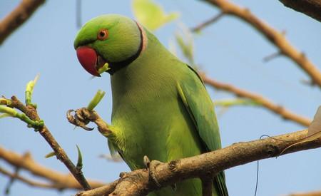 A rose-ringed parakeet | © JayDalal5 / © WIkiCommons