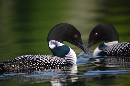 Common Loon | © USFWSmidwest / Flickr