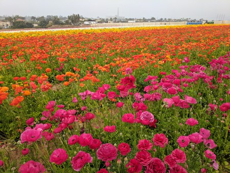 There are 50 acres of gorgeous Ranunculus  flowers | © Juliet Bennett Rylah