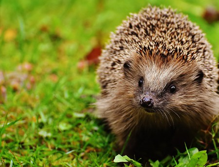 Hedgehog | © Pixabay