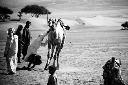 Camel Play in the Omani Desert   ©  Marc Veraart / Flickr