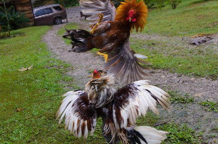 Roosters fighting | © Alberto Abouganem Stephens/ Flickr