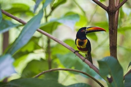 Tropical Toucan | © James Anderson/Tartan Group