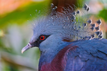 The Victorian Crown Pigeon with its feather crest | © Tambako The Jaguar / Flickr