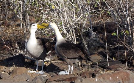 Galapagos Waved Albatross|© Claumoho/Flickr.com