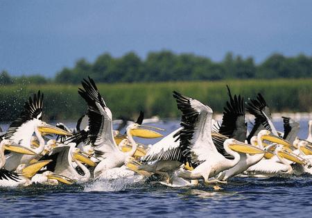 Pelicans in the Danube Delta  | © Goliath / Wikimedia Commons
