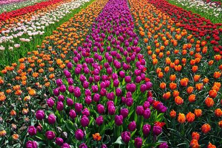 Dutch tulip fields | © pixabay