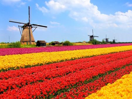 Vibrant tulips fields with windmills in the background, Netherlands   © JeniFoto/Shutterstock