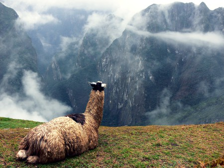 A llama looking out from Machu Picchu   © Roger Nelson/Flickr