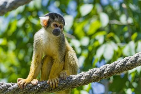 Squirrel Monkey│© Tambako The Jaguar/Flickr
