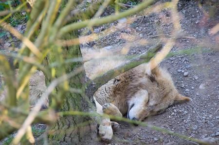 A wolf dozes at Zurich zoo | © Emlyn Stokes/ Flickr