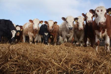 Cows | © Oli / Flickr