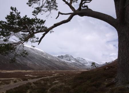 Scots Pine, Glen Derry | © GariochT/Flickr