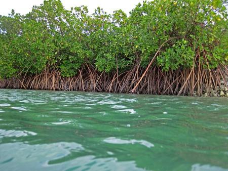 Red mangroves| © James St John/Flickr