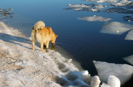 A Finnish spitz at the Gulf of Finland / Public domain / Pixabay